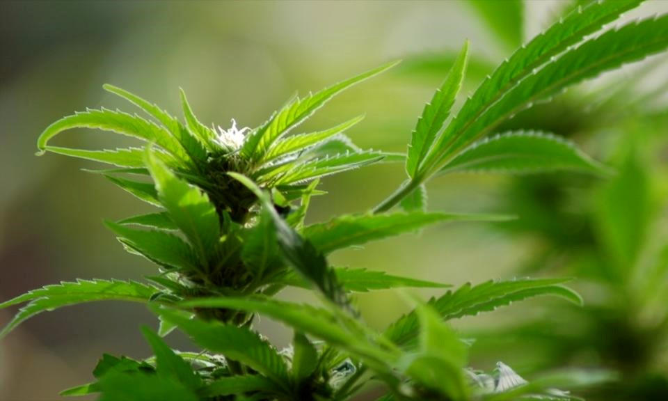 Cannabis Genotypes and Phenotypes: What Makes a Strain