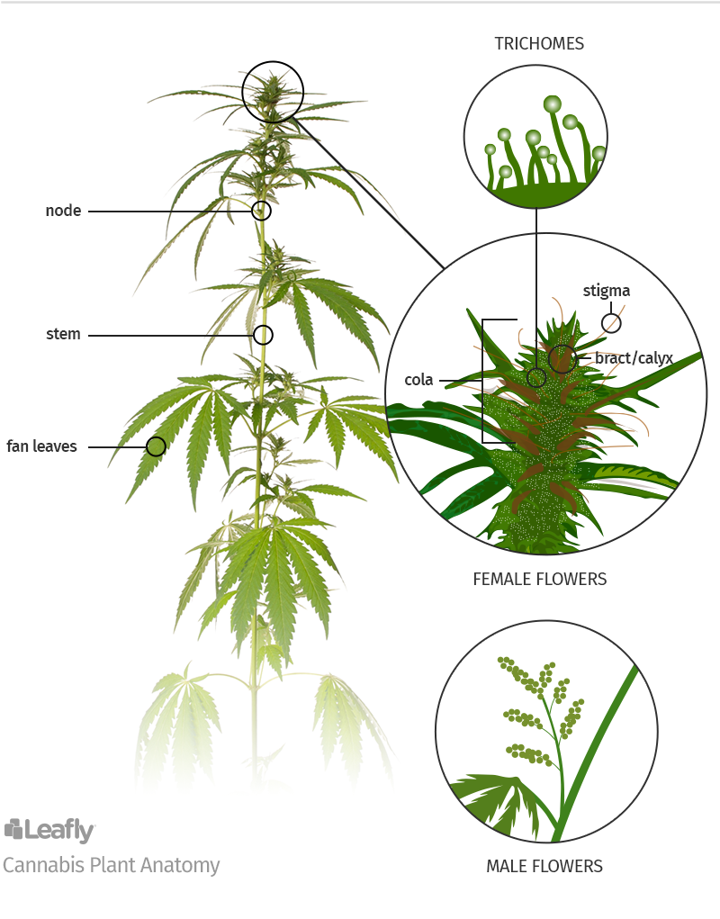 Anatomy Of Marijuana Plants The Different Parts Leafly