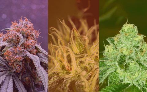 sativa-indica-and-hybrid-whats-the-difference-between-cannabis-ty-480x300.jpg