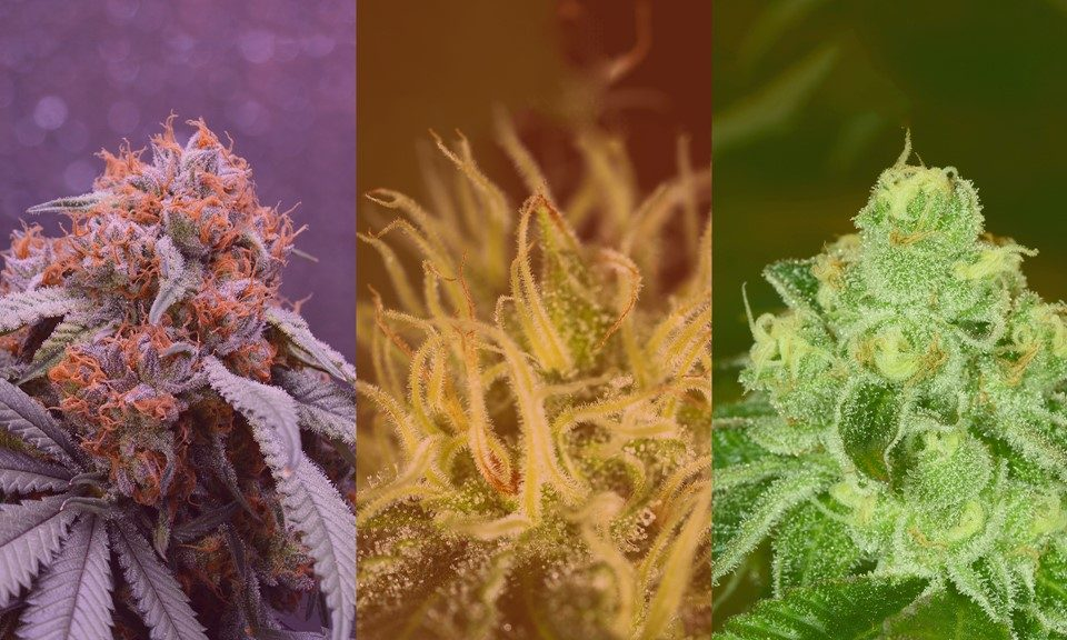 Sativa vs. Indica vs. Hybrid: What's the Difference Between Cannabis Types?