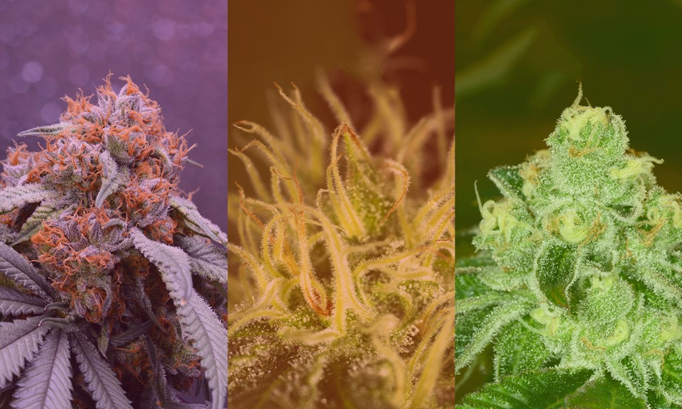 Sativa, Indica, and Hybrid: What's the Difference Between Cannabis Types?