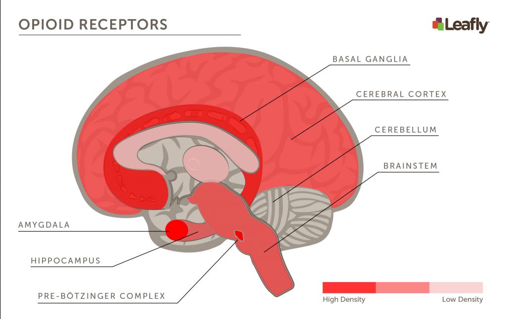 aree cerebrali ad alta densità di recettori per gli oppioidi