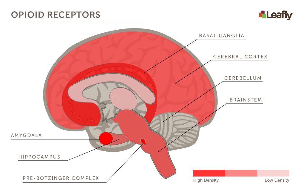 Brain areas with high densities of opioid receptors
