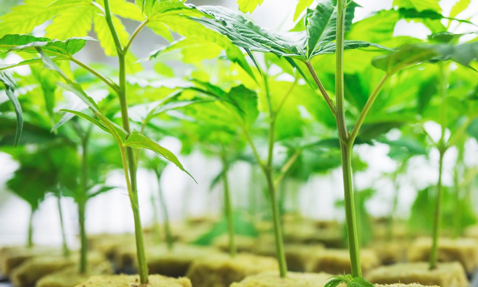 Beginners Guide To Cannabis Breeding Genetics And Strain Variability