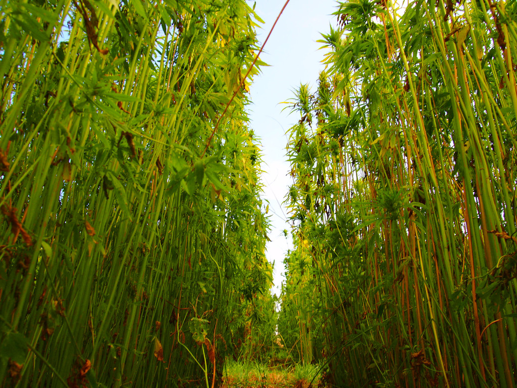 Hemp Farm & Cannabis academy