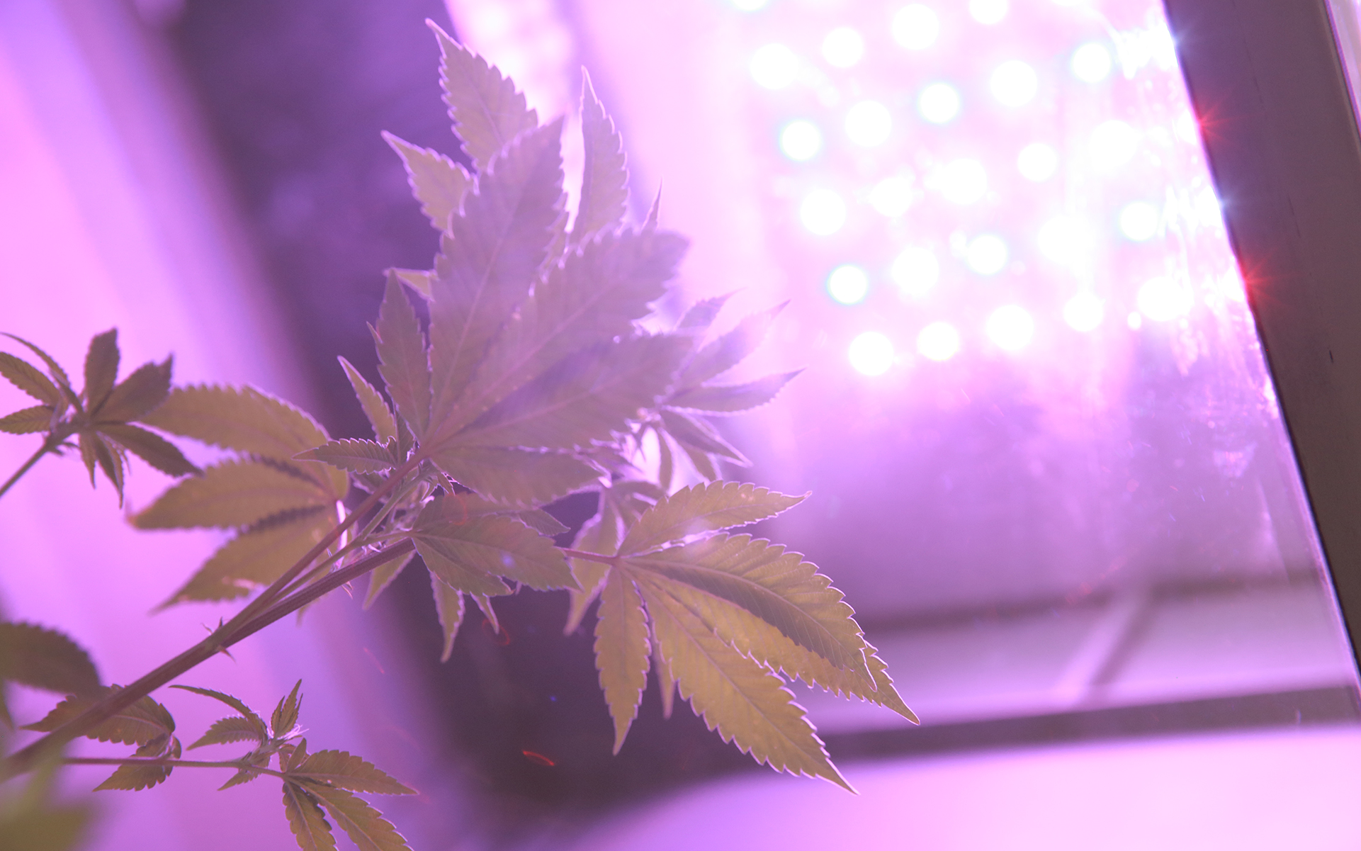 Cannabis plants under LED lights in GroBox
