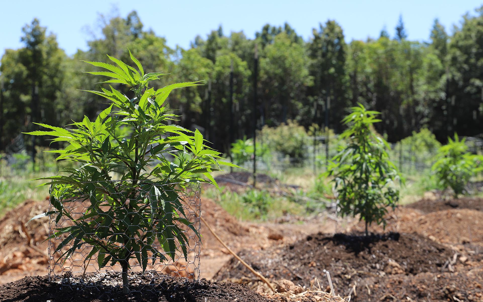 marijuana growing, how to grow marijuana