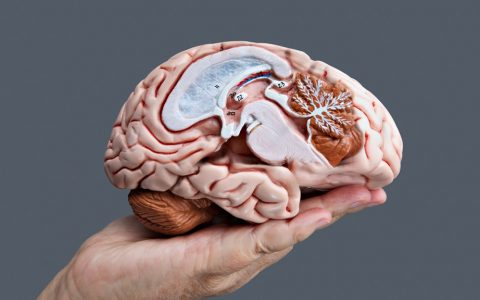 A hand holding a model of a brain