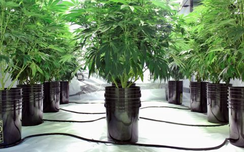 How and When to Flush Cannabis Plants | Leafly