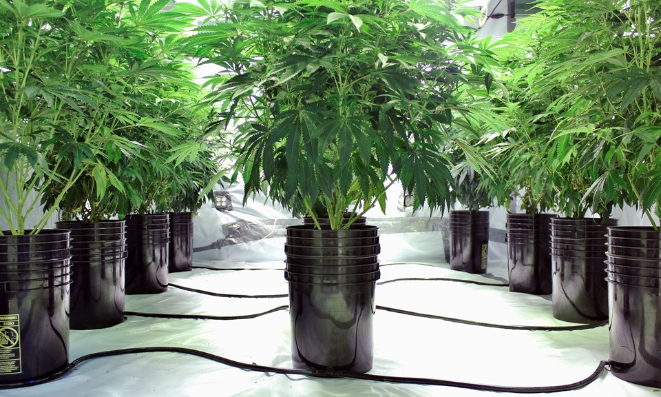 When is the right time to harvest cannabis plants leafly for Pflanzen innenbereich