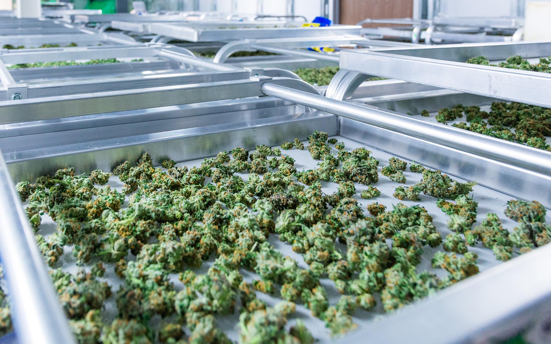 drying curing cannabis, marijuana, harvesting marijuana