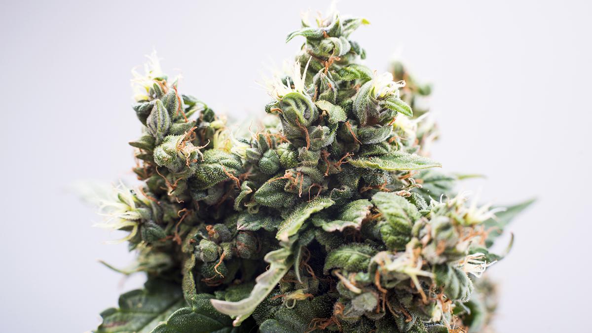 Cannabis plant picture