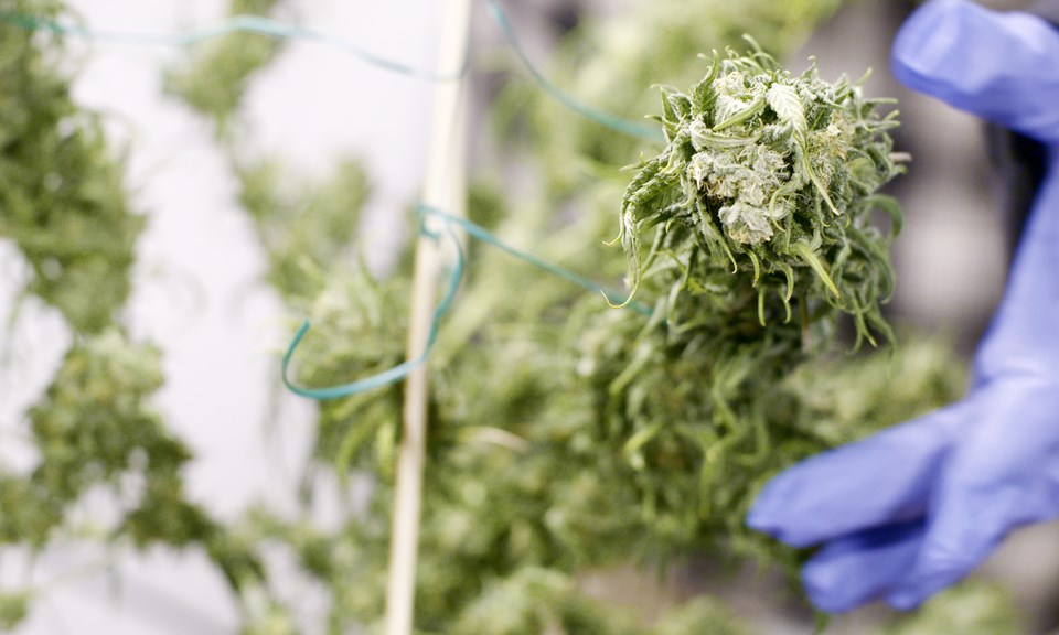 Your Guide to Drying and Curing Cannabis Buds | Leafly
