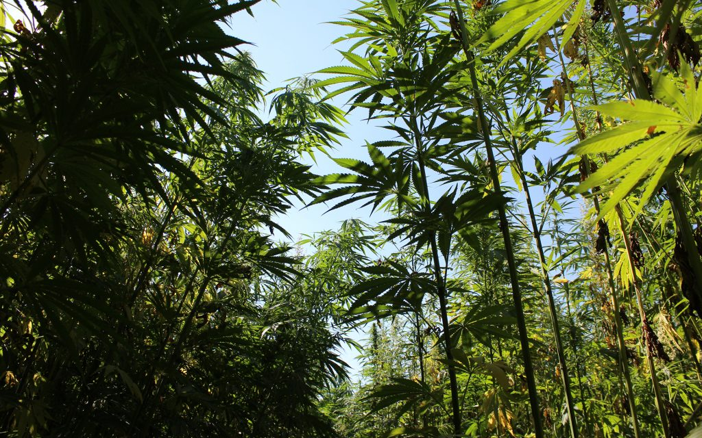 Inside the hemp maze, cannabis plants tower up to 16 feet in the air. Photo via Lukas Hurt