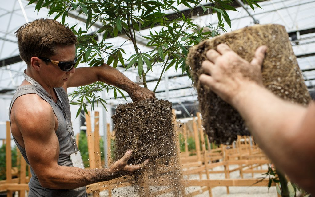 Head grower Nick Paton transplants cannabis crop. (Jordan Stead for Leafly)
