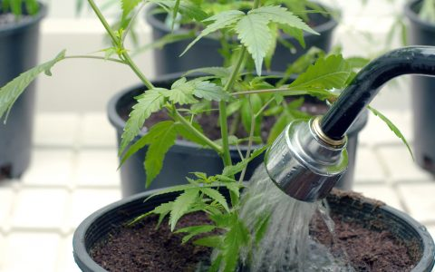 watering cannabis 2 480x300 - How to Grow Marijuana Outdoors: Your Regional Guide to Growing Healthy Cannabis Plants Outdoors