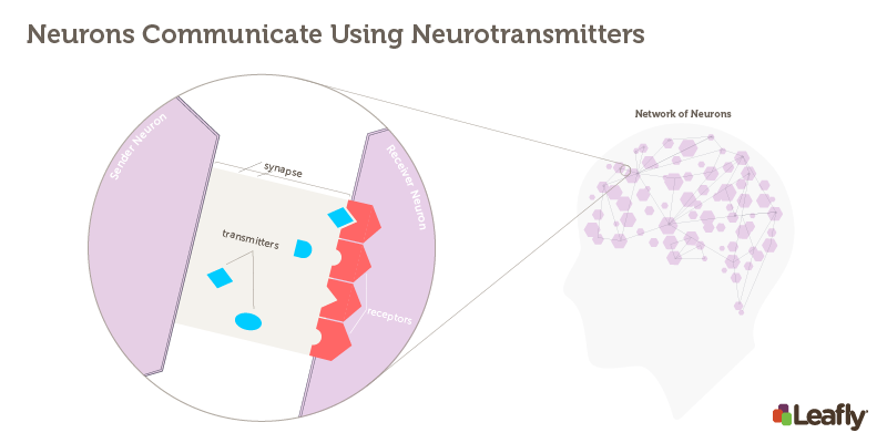 "Figure 1 — Neurons Communicate Using Neurotransmitters Right: The brain contains a huge a number of brain cells (neurons). Each neuron, represented here as a hexagon, is connected to many others. Left: The synapse is the site where two neurons communicate each other. The ""sender neuron"" releases chemical signals called neurotransmitters, which stimulate receptors on the ""receiver neuron."" There are many different receptor types in the brain, each one sensitive to different neurotransmitters."