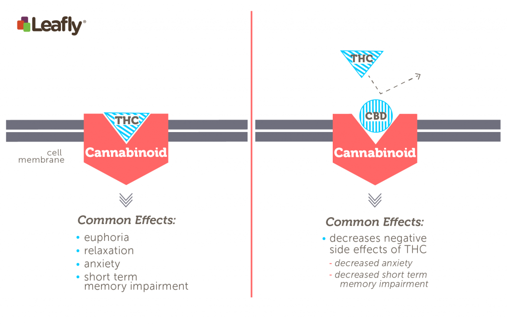 "Left: THC directly stimulates the CB1 receptor. This interaction underlies the major psychoactive effects of Cannabis consumption. Right: CBD reduces, or ""antagonizes,"" THC's ability to stimulate CB1 receptors. This can decrease some of THC's effects, especially negative effects like anxiety and short-term memory impairment."