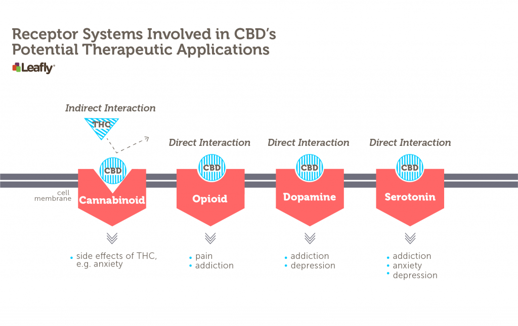 CBD interacts, either directly or indirectly, with many different receptor systems in the brain. It indirectly influences the major cannabinoid receptor in the brain by decreasing THC's ability to stimulate this receptor. It also interacts with a variety of other receptors. A subset of these are shown here. Each red shape represents a different brain receptor that might be found on a neuron. Some of the potential therapeutic applications associated with CBD's interaction with each receptor system are listed below each receptor.