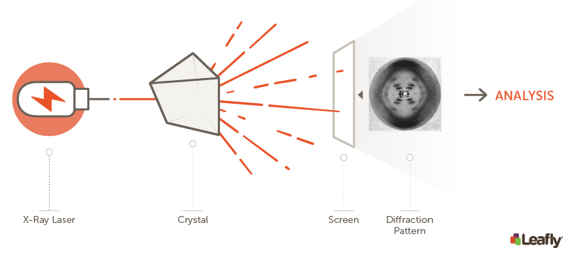How X-ray crystallography works. After purifying the protein or biological molecule of interest in the form of crystals, scientists bombard them with high-intensity X-rays. The X-rays are diffracted through the crystal, creating a unique diffraction pattern that depends on the structure of the crystallized protein. This diffraction pattern is then analyzed to determine the physical structure of the molecule in the crystal. The diffraction pattern shown here, known as Photo 51, was the original image used to figure out the double-helix structure of DNA. It is not the diffraction pattern that was used to figure out the CB1 receptor structure.
