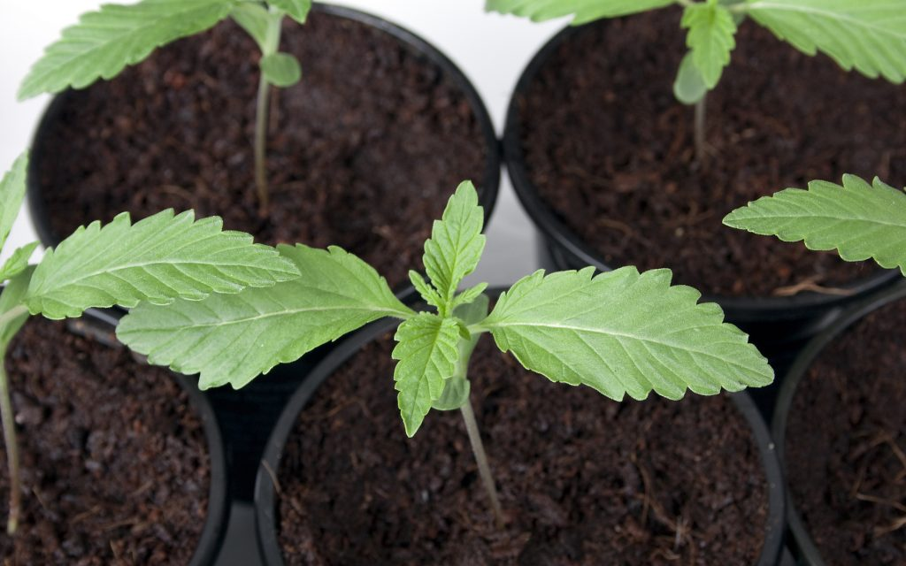 Young cannabis plants in pots.