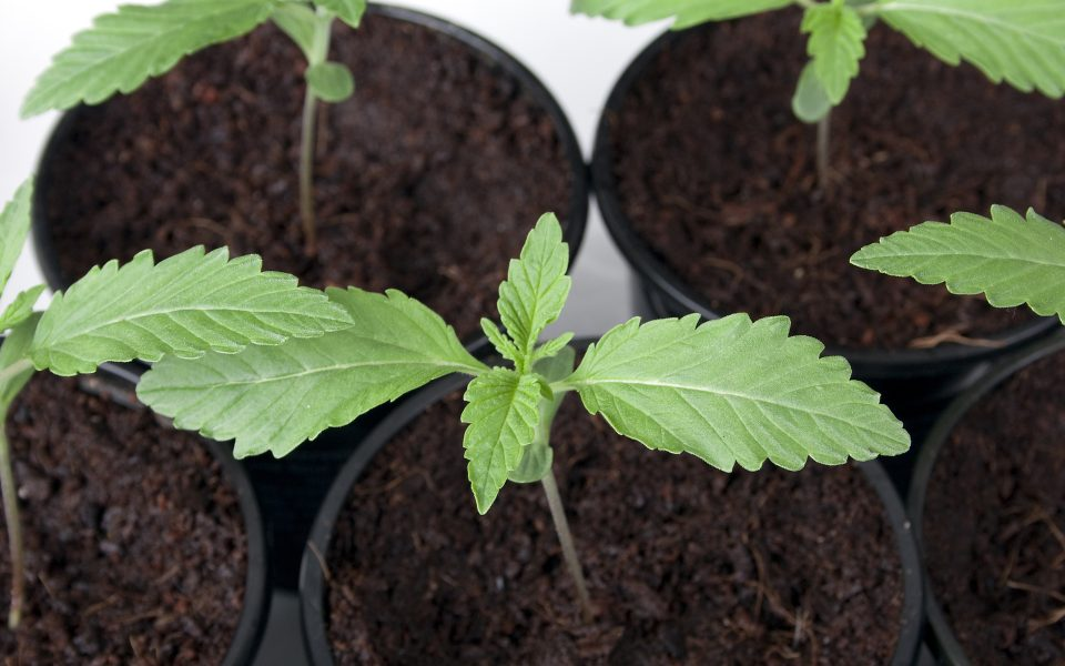 The 5 Easiest Cannabis Strains to Grow for Beginners
