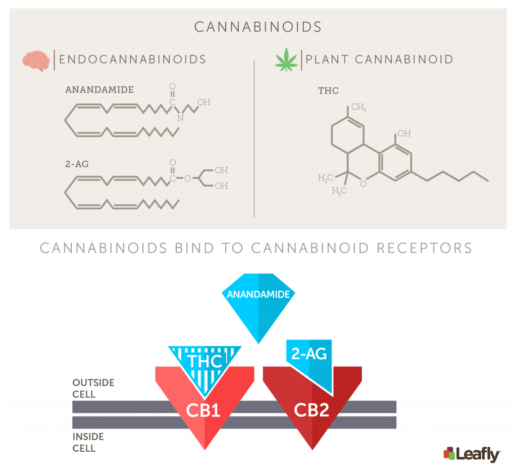 Anandamide and 2-AG are the two major endocannabinoids produced naturally in the body