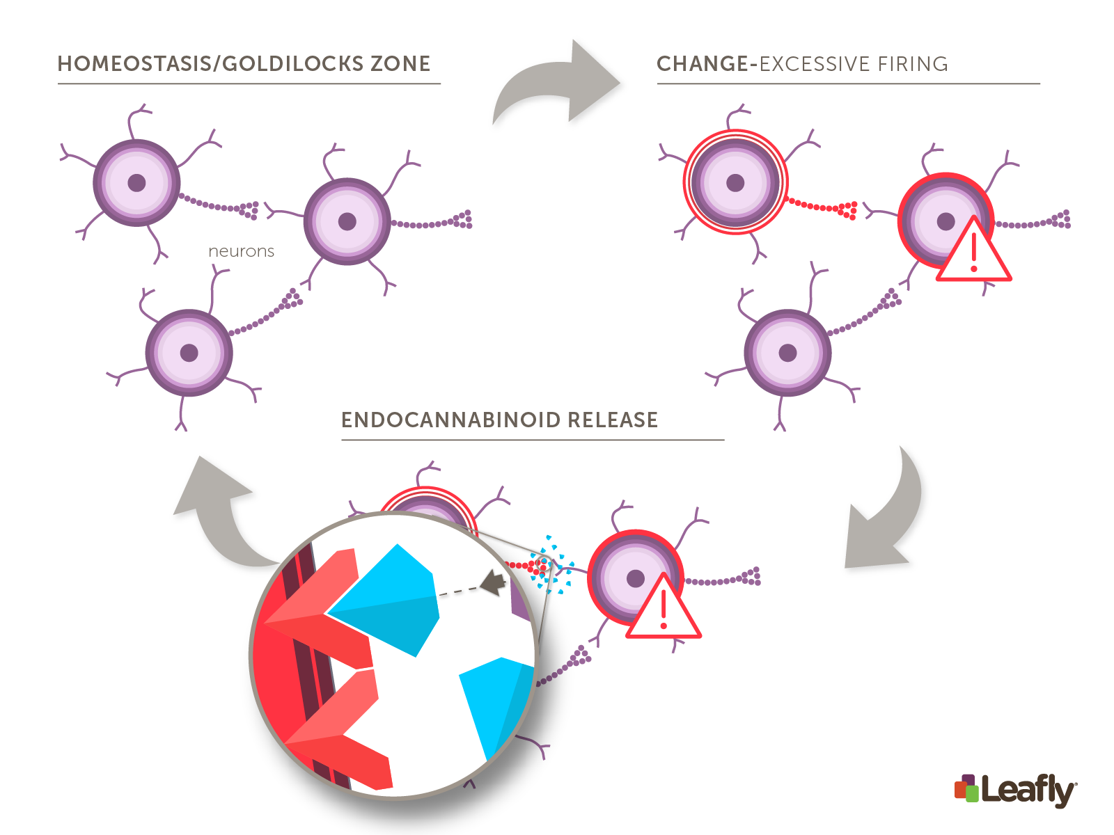 endocannabinoid system regulation of brain cell firing