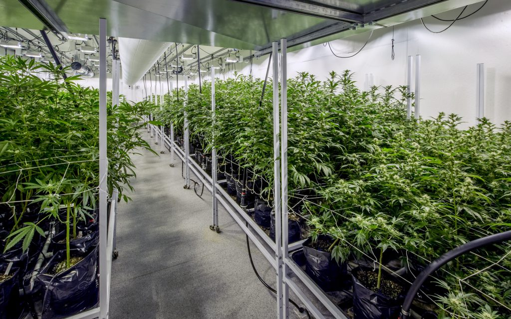 Hydroponic Marijuana Growing in Temperature Controlled Greenhouse