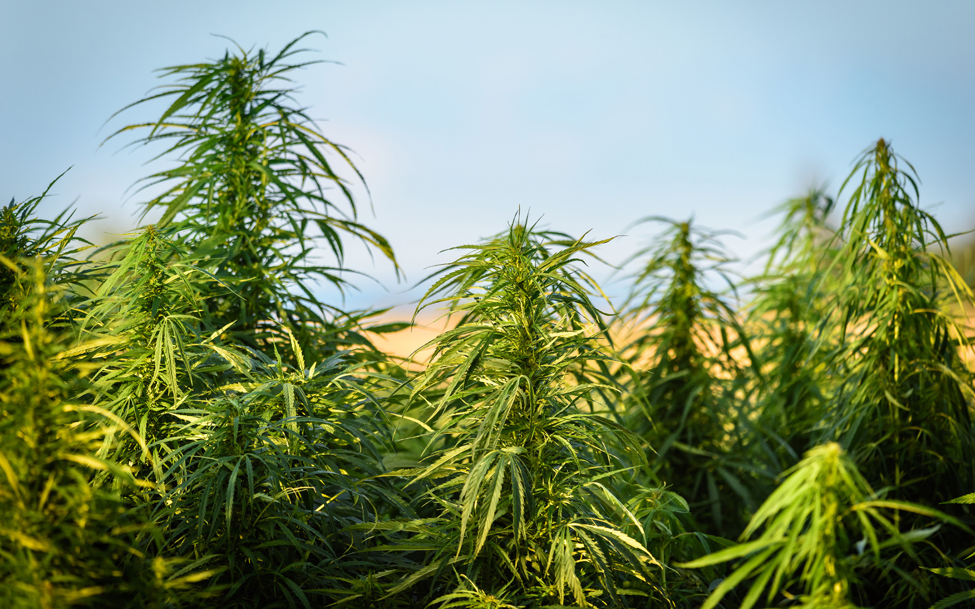 Do Farmers Have a Legal Right to Grow Cannabis? | Leafly