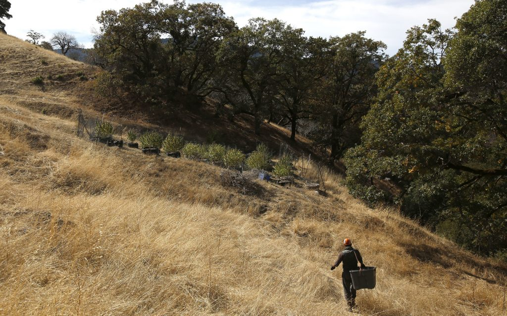 In this Wednesday, Oct. 12, 2016 photo, Aaron Gonzalez follows a path to harvest marijuana from grower Laura Costa's farm near Garberville, Calif. (AP Photo/Rich Pedroncelli)