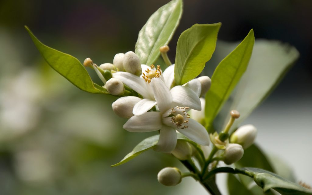 Citrus Sinensis / Sweet Orange Flower