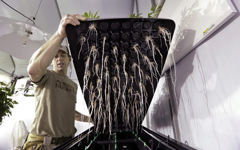 roots of cannabis grown with aeroponics