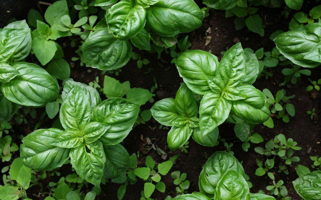 organic IMP Tactic: Companion cannabis planting pest control