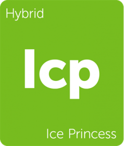 Icp Iced Princess