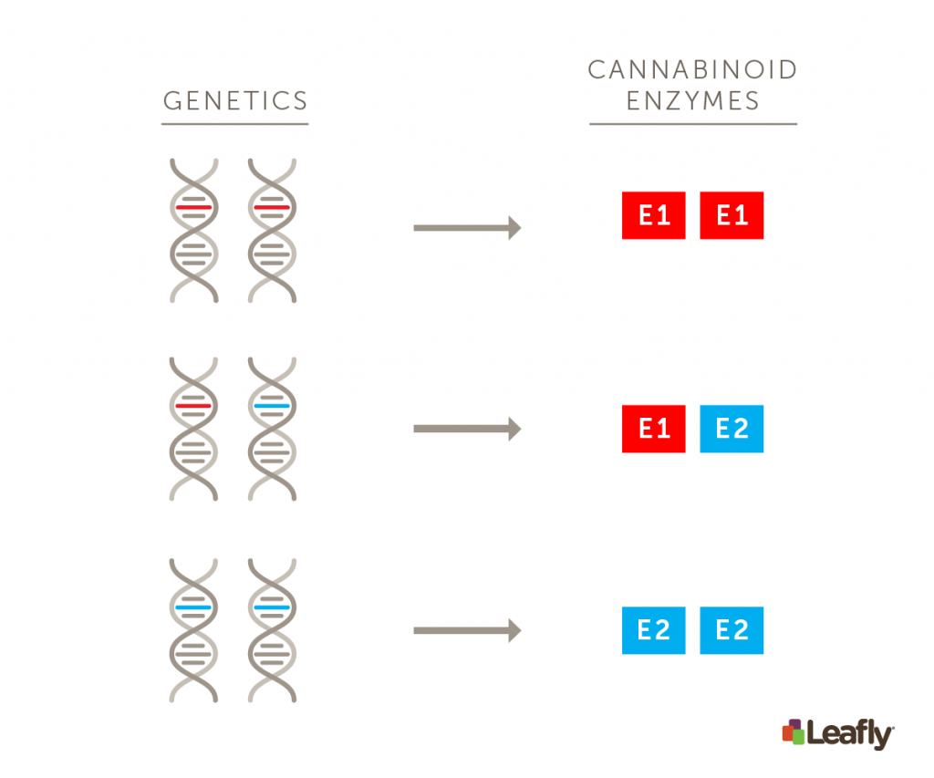 Genetics + cannabinoid enzymes graphic