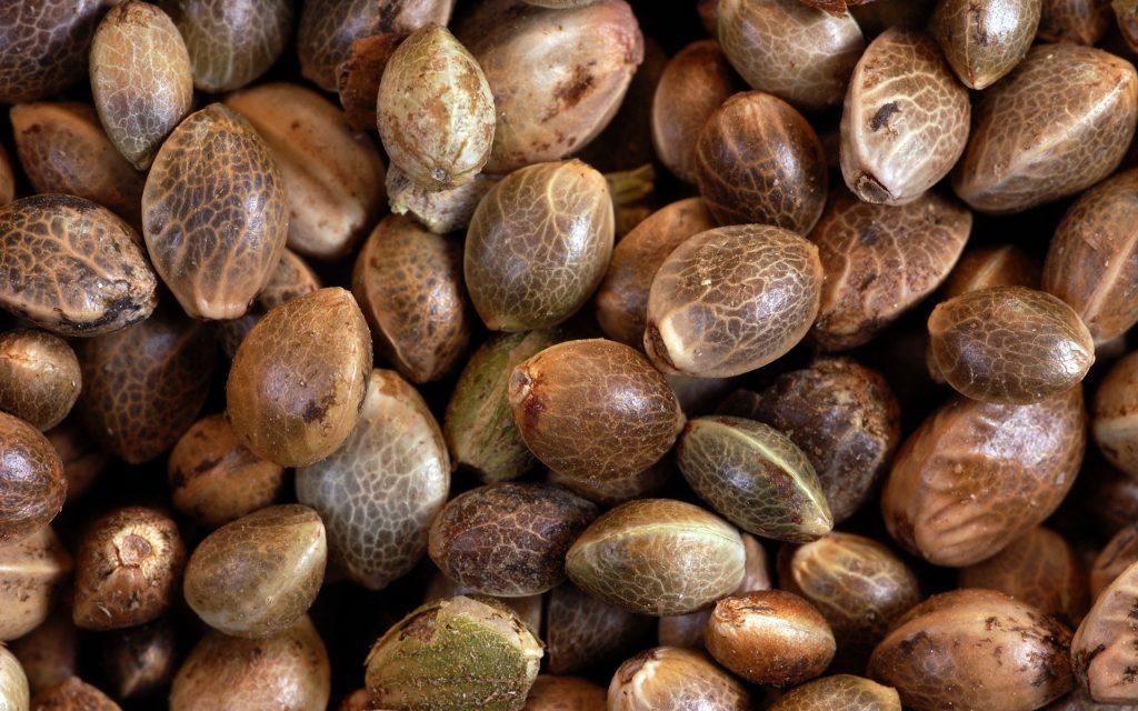 konopljina semena autoflower