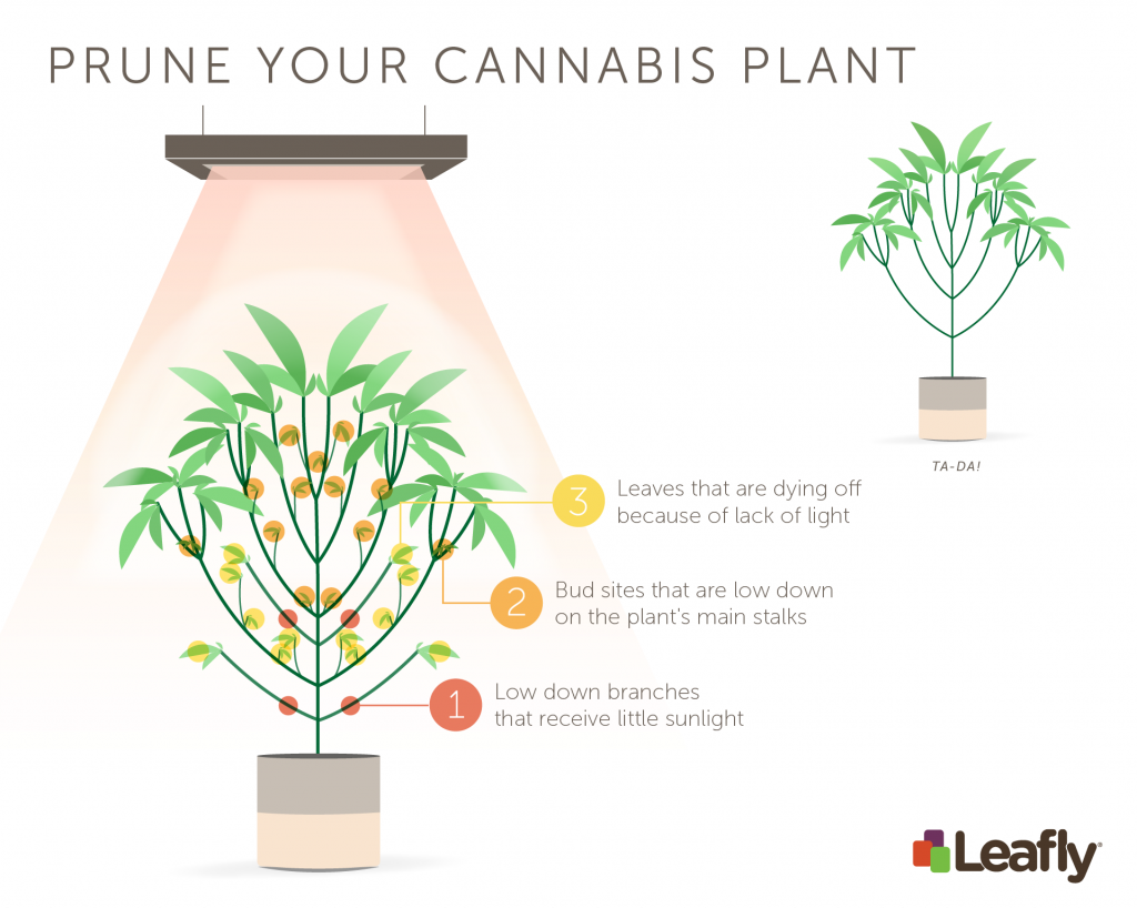 How to prune your cannabis plant