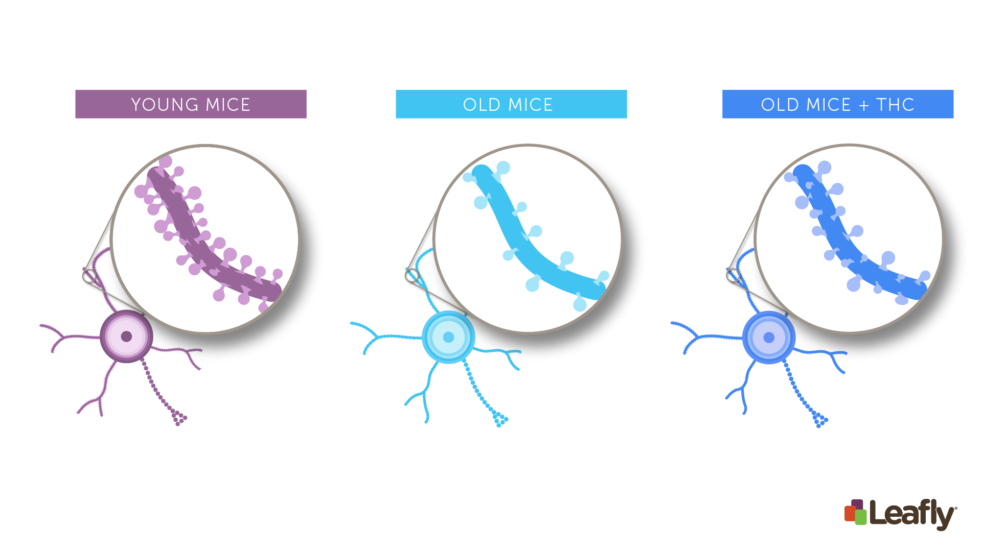 "Figure 1: Chronic THC exposure in old mice can increase the number of connections between neurons in the brain. Brain cells often have structures called ""spines."" Each spine marks a single connection between two brain cells. Compared to young mice (left), neurons in old-mice (middle) tend to have fewer spines. After chronic THC exposure (right), the brain cells of old mice often look more like those of young mice--they have more spines, and therefore more connections to other brain cells."