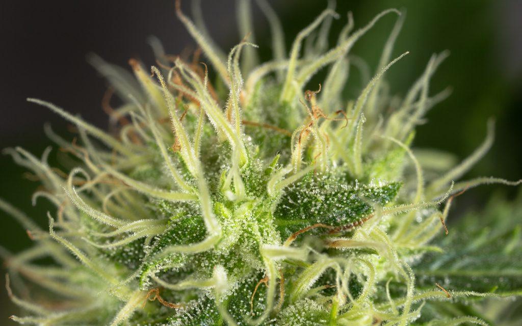 Tips for Growing OG Kush Cannabis