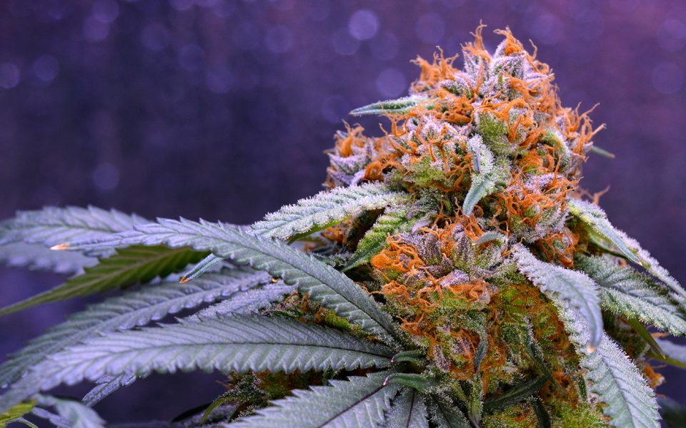Tips for Growing Granddaddy Purple Cannabis