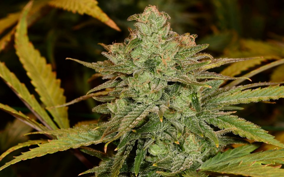 Tips for Growing Cheese Cannabis