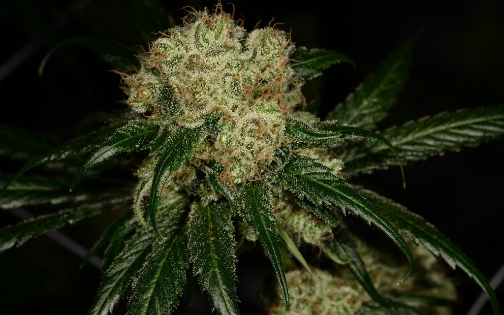 Tips for Growing Dutch Treat Cannabis