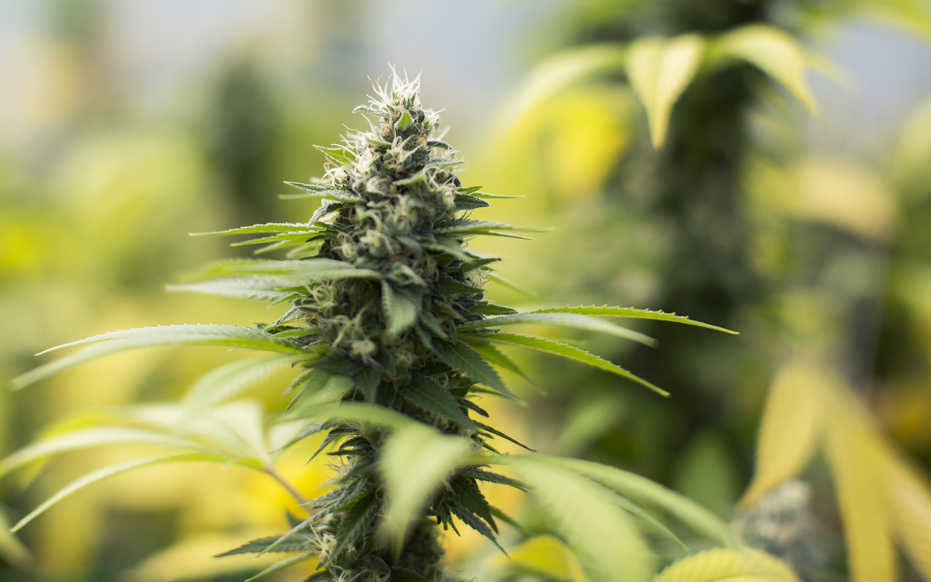 Tips for Growing Sour Diesel Cannabis