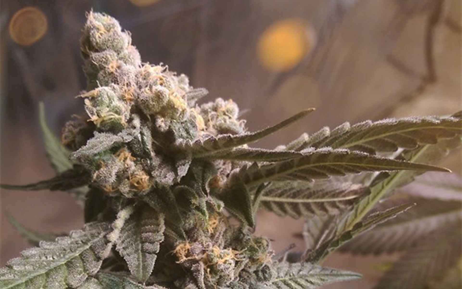 Tips for Growing Purple Urkle Cannabis