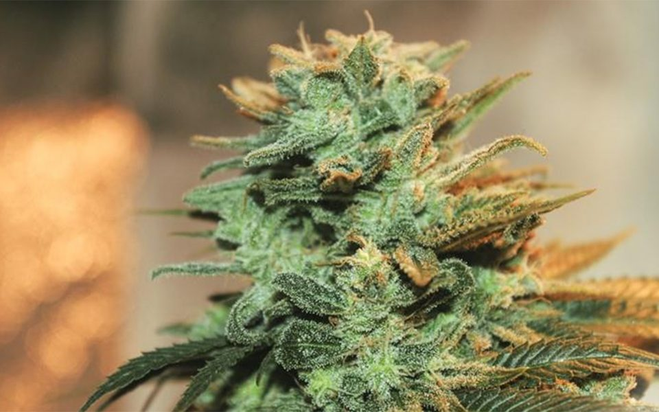 Tips for Growing G13 Cannabis