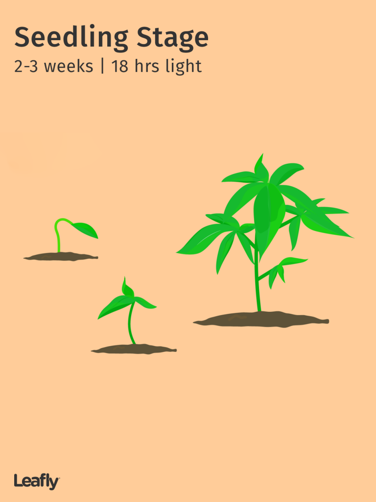 Stages of the Marijuana Plant Growth Cycle in Pictures | Leafly