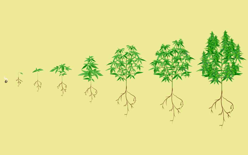 stages of the marijuana plant growth cycle in pictures leafly Cycletree Life stages of the cannabis plant growth cycle