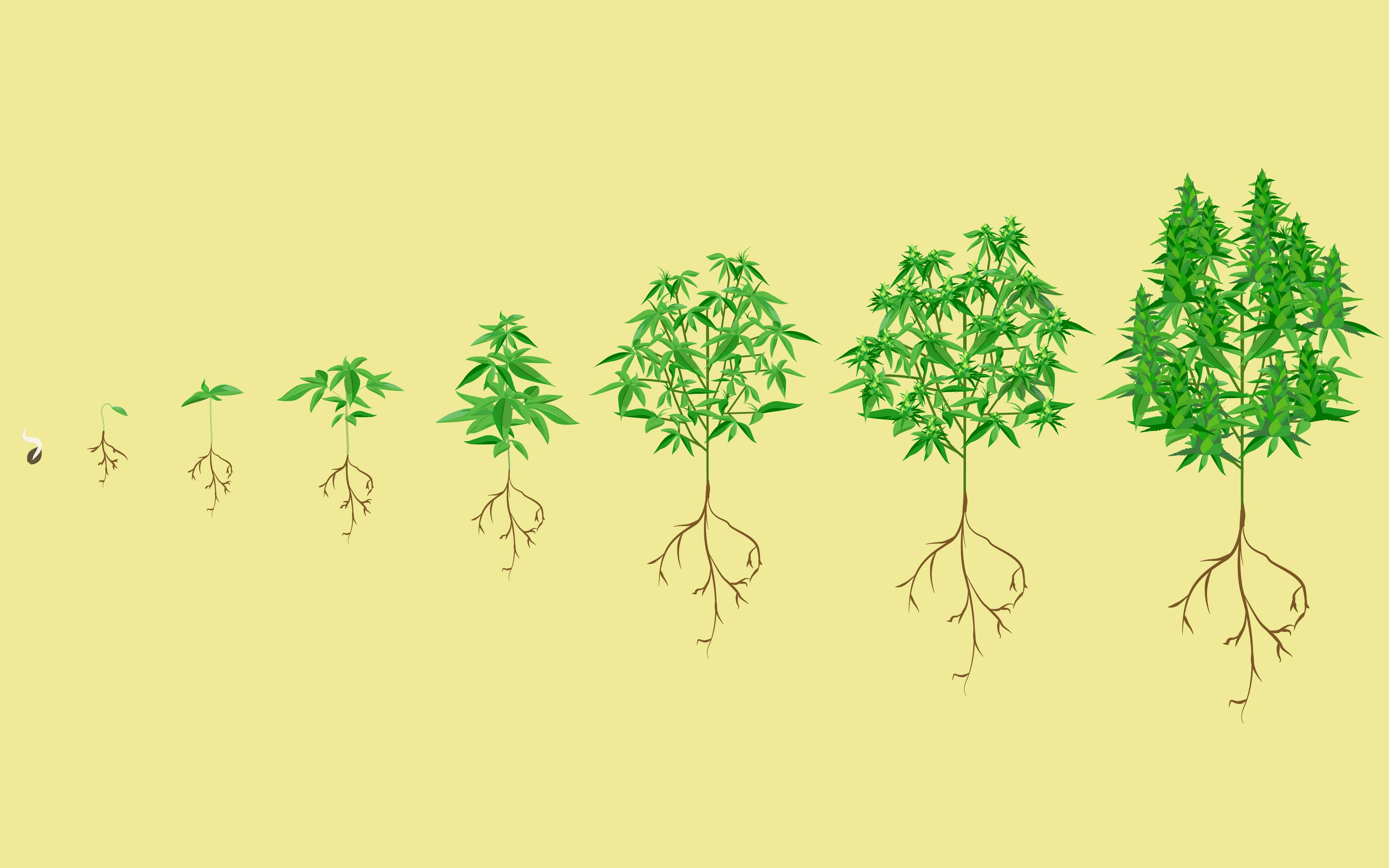 Stages of the cannabis plant growth cycle in pictures | Leafly