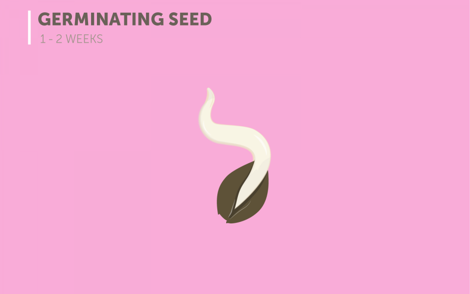 Marijuana Growth Cycle Stage 1: The Germinating Seed